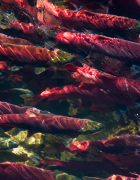 Sockeye Salmon | Jacob Parry